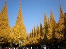 神宮銀杏並木ー2