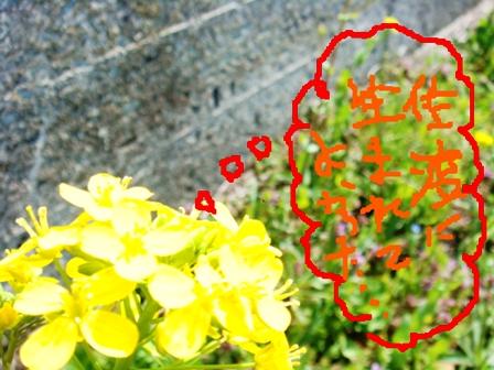 菜の花のきもち