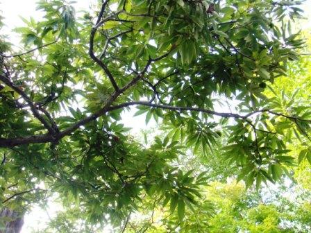 栗の木11