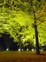 今月まで!熊本県庁のイチョウ並木ライトアップ♪