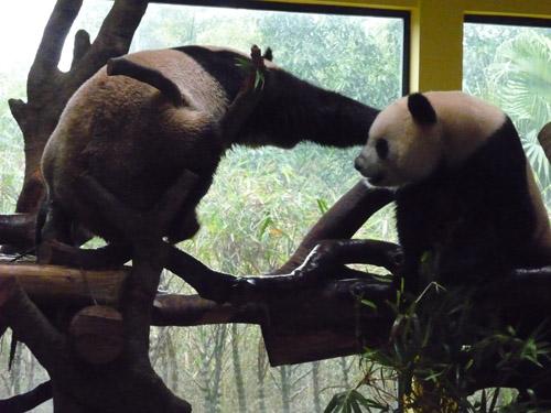 パンダ戦い2