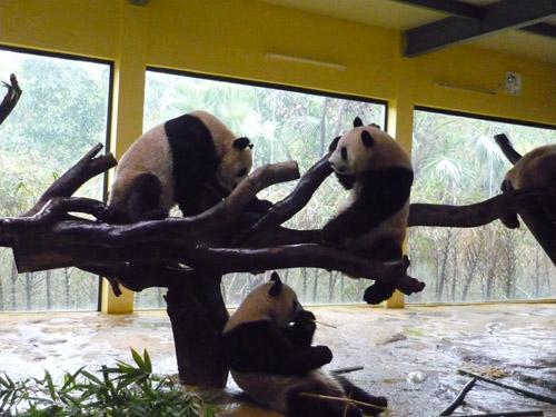 パンダ戦い3