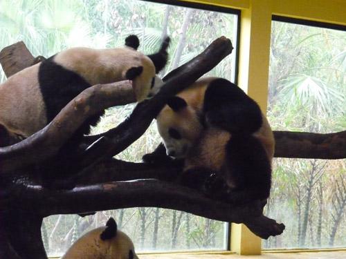 パンダ戦い4