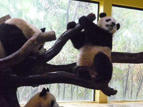 パンダ戦い5