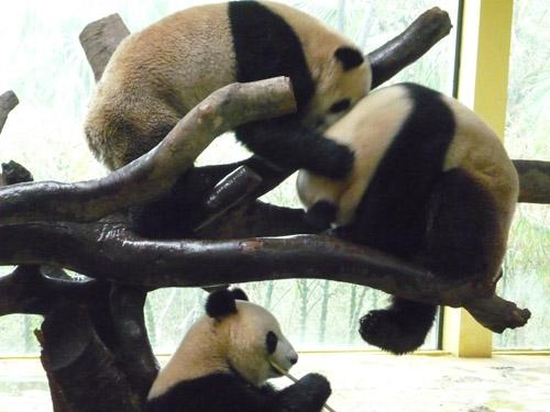 パンダ戦い6