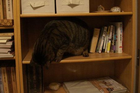本棚のマロン1