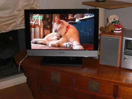 テレビに猫2