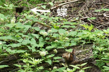 マロンとアゲハ蝶2
