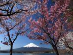 八重桜と富士