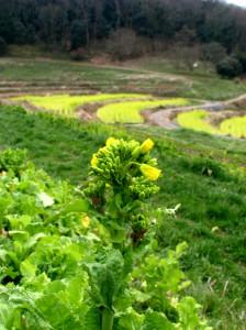 菜の花畑満開_1