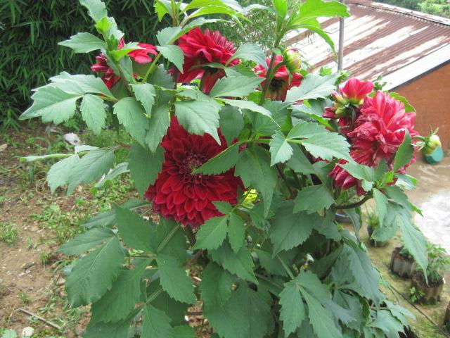 我が家の庭に咲くダリア 005