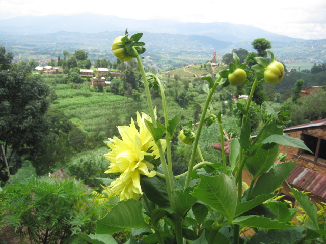 我が家の庭に咲くダリア 003