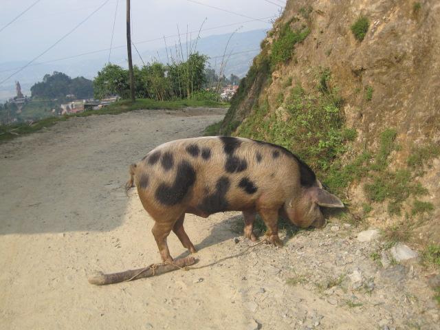 豚の散歩~ティハール10月27日まで 003
