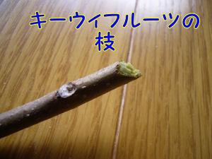 キーウィの枝!