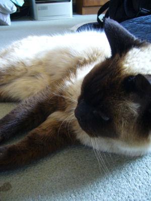 実家猫みー2