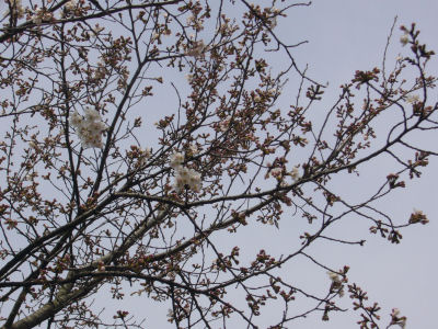 0406桜inAKIMA