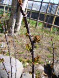 山椒の新芽