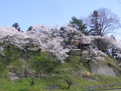 一番好きな桜