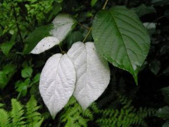 葉が白くなる