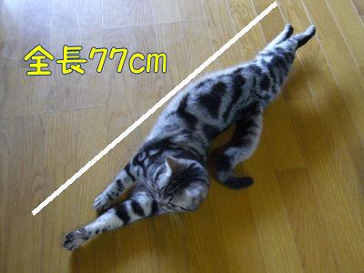 しまは77cm