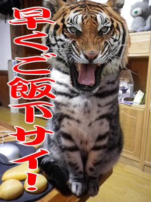 ご飯が欲しい虎