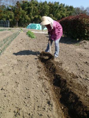 芋を植えるひと。