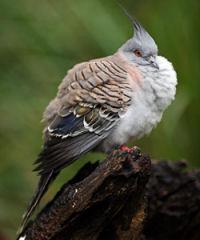 トサカのある鳩1
