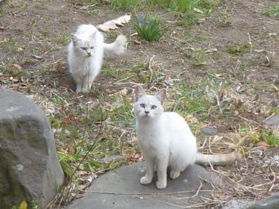 木瓜の下の猫2