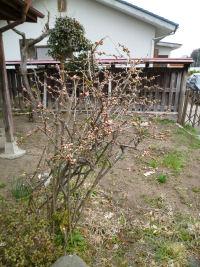 木瓜咲いた1