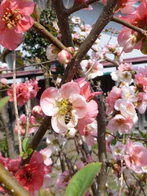 木瓜とミツバチ
