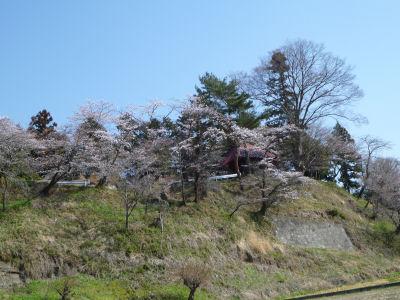 実家近くの桜