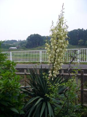 今日のアスパラグロ花。