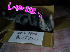 箱入りネコ?