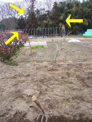 見事なスギ花粉製造木