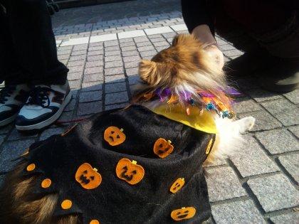 ママーっ 大変でつ かぼちゃさんがイッパイでつよーっ!!