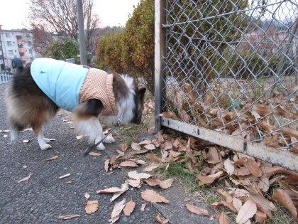 この落ち葉でお芋焼くなら歩くでつけどねぇ