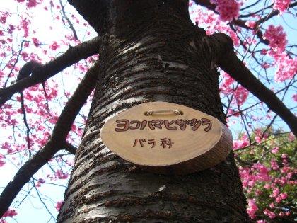 大きな桜の木の下で~♪でつよ~!!