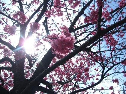 ハレンチぴんくの桜ちゃんでつ!