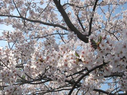 再会の目印はこの桜の花だよーっ!!