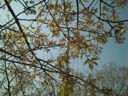 ママは葉桜じゃなくて黄桜が好きなんでつよ