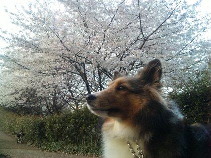 桜の下には鬼。。女神さまがいるんでつよ♪