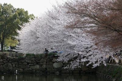 110409sakura098.jpg