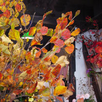 万作の紅葉