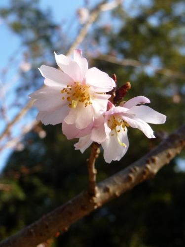 124asukafuyusakura01.jpg