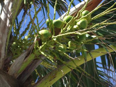 椰子の木実