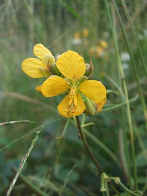 ハブソウの花1123