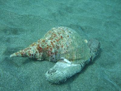 法螺貝ナマコ