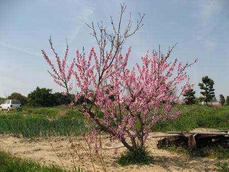 桜遍路旅-2