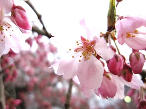 桜開花2010