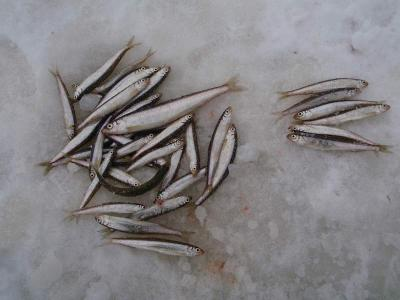 氷上 釣果